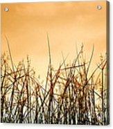 Desert Grass Acrylic Print