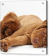 Dogue De Bordeaux And Cavalier King Acrylic Print