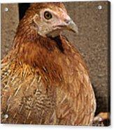 Domestic Chicken Acrylic Print