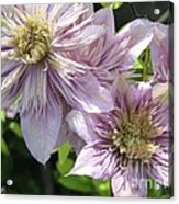 Double Clematis Named Empress Acrylic Print