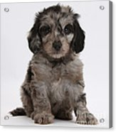 Doxie-doodle Puppy Acrylic Print