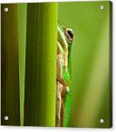 Dwarf Tree Frog Acrylic Print