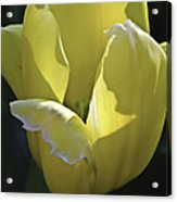 Easter Yellow Tulip Acrylic Print