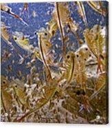 Eastern Fairy Shrimp Easterbrook Forest Acrylic Print