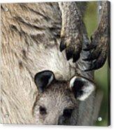 Eastern Grey Kangaroo Joey Acrylic Print