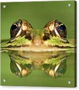 Edible Frog Rana Esculenta Acrylic Print