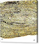 Eel Scale, Light Micrograph Acrylic Print
