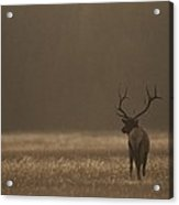 Elk Or Wapiti Bull At Sunset Acrylic Print