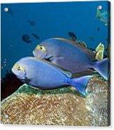Elongate Surgeonfish Acrylic Print