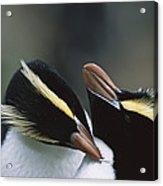 Erect-crested Penguin Eudyptes Sciateri Acrylic Print