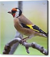 European Goldfinch Acrylic Print