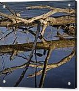 Fallen Tree Trunk With Reflections On The Muskegon River Acrylic Print