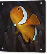 False Ocellaris Clownfish In Its Host Acrylic Print
