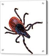 Female Blacklegged Tick Acrylic Print