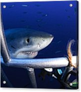 Female Great White Shark, Guadalupe Acrylic Print