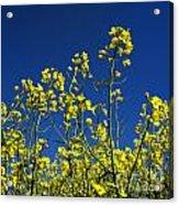 Field Of Rape In Bloom. Auvergne. France. Europe Acrylic Print