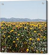 Fields Of Safflowers Acrylic Print