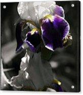 Filoli Iris Acrylic Print
