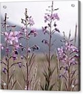 Fireweed In A Sea Of Grass Acrylic Print