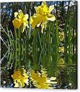 Flooded Daffodils Acrylic Print