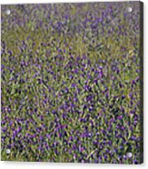 Flower Known As Salvation Jane Acrylic Print