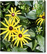 Flower Rudbeckia Fulgida In Full Acrylic Print by Ted Kinsman