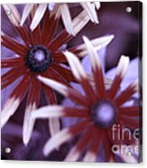 Flower Rudbeckia Fulgida In Uv Light Acrylic Print by Ted Kinsman
