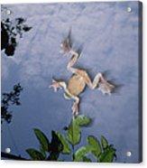 Foam Nest Tree Frog Polypedates Dennysi Acrylic Print by Mark Moffett