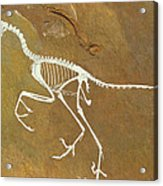 Fossil Of Archaeopterix, One Of The First Birds Acrylic Print