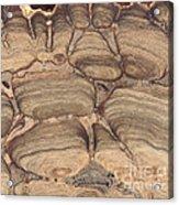Fossil Stromatolite Acrylic Print