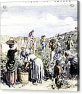 France: Grape Harvest, 1854 Acrylic Print by Granger