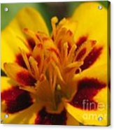 French Marigold Named Starfire Acrylic Print