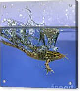 Frog Jumps Into Water Acrylic Print