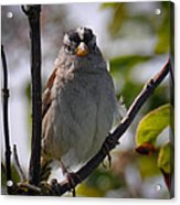 Gambel's White Crowned Sparrow Acrylic Print