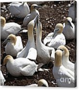 Gannet Birds Showing Fencing Behavior Acrylic Print