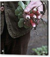 Gardener Holding Freshly Picked Radishes Acrylic Print