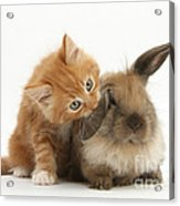 Ginger Kitten And Young Lionhead-lop Acrylic Print