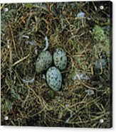 Glaucous-winged Gull Nest With Three Acrylic Print