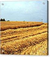 Golden Harvest Field 1 Acrylic Print