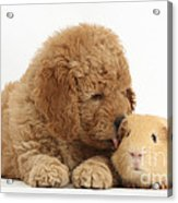 Goldendoodle Puppy And Guinea Pig Acrylic Print