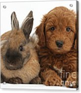 Goldendoodle Puppy And Rabbit Acrylic Print