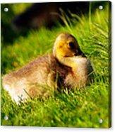 Gosling In Spring Acrylic Print