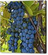 Grapes On A Vine Sutton Junction Quebec Acrylic Print by David Chapman