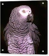 Gray Parrot Acrylic Print