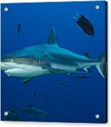 Gray Reef Shark, Kimbe Bay, Papua New Acrylic Print
