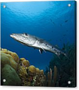 Great Barracuda, Belize Acrylic Print