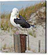 Great Black-backed Gull    Larus Marinus Acrylic Print