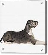 Great Dane Dog Acrylic Print
