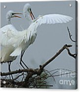 Great Egret Pair Acrylic Print