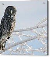 Great Grey Owl, Northern British Acrylic Print
